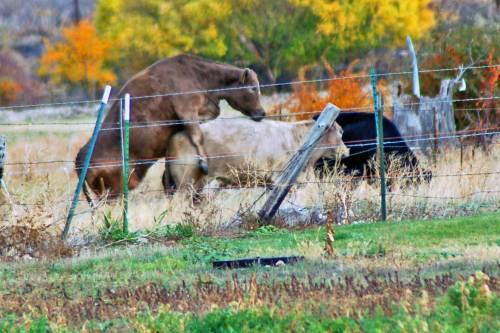 backyard-cows