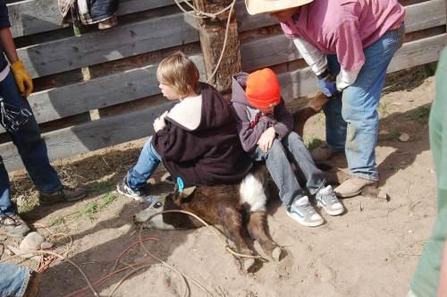 calf-sitting